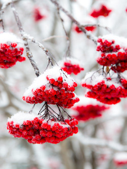 Wall Art-Red Berries in Snow