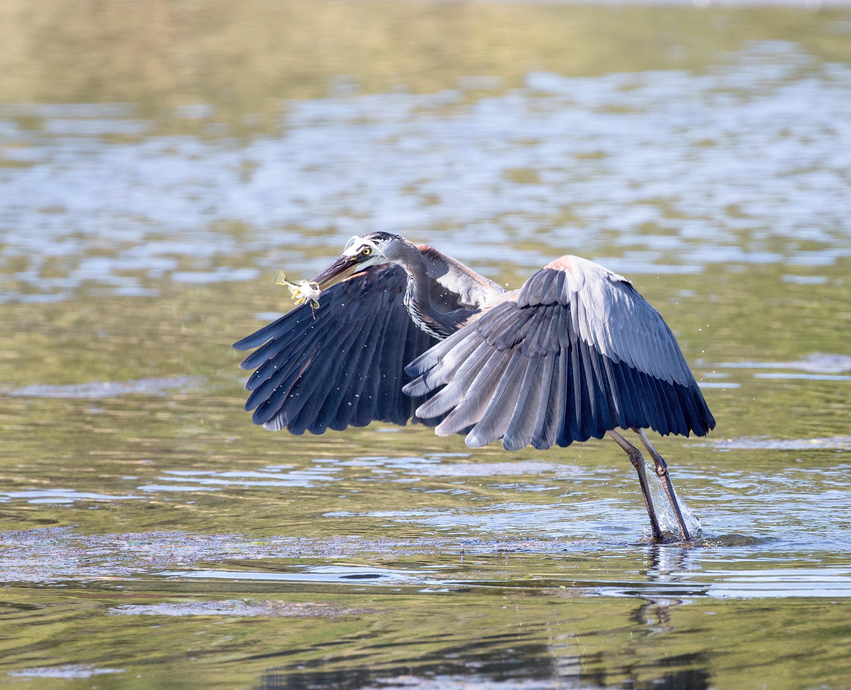 BI-Heron Flying with Fish 6519