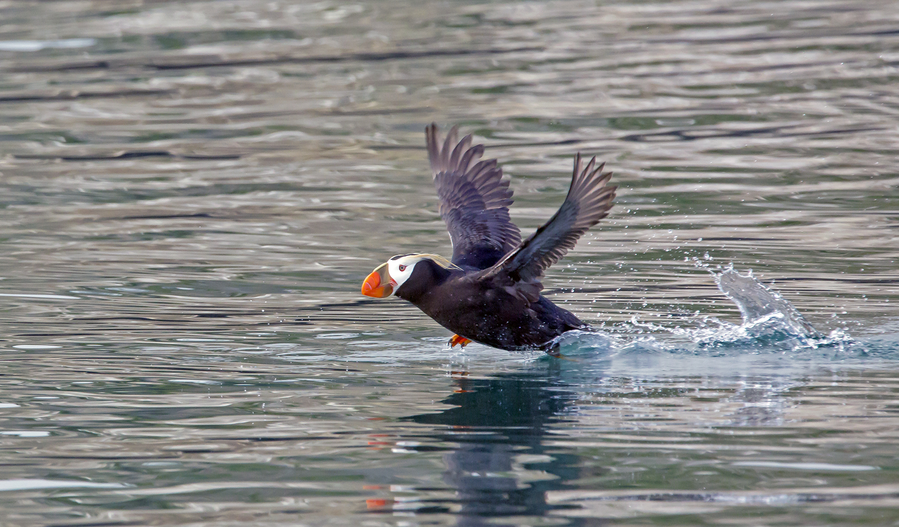Puffin Taking Off 1