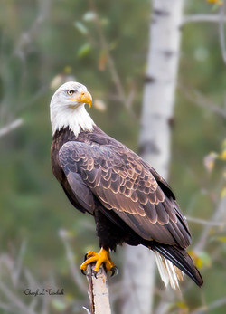 Bald Eagle in Tree 2