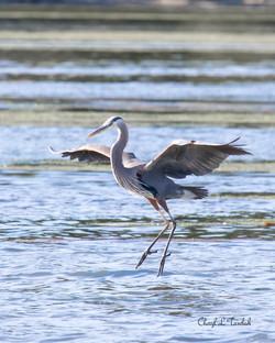 Heron Landing 1