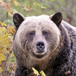 Grizzly (Apple)