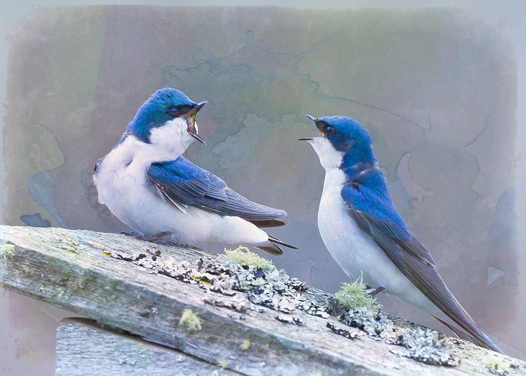 Tree Swallows in Discussion