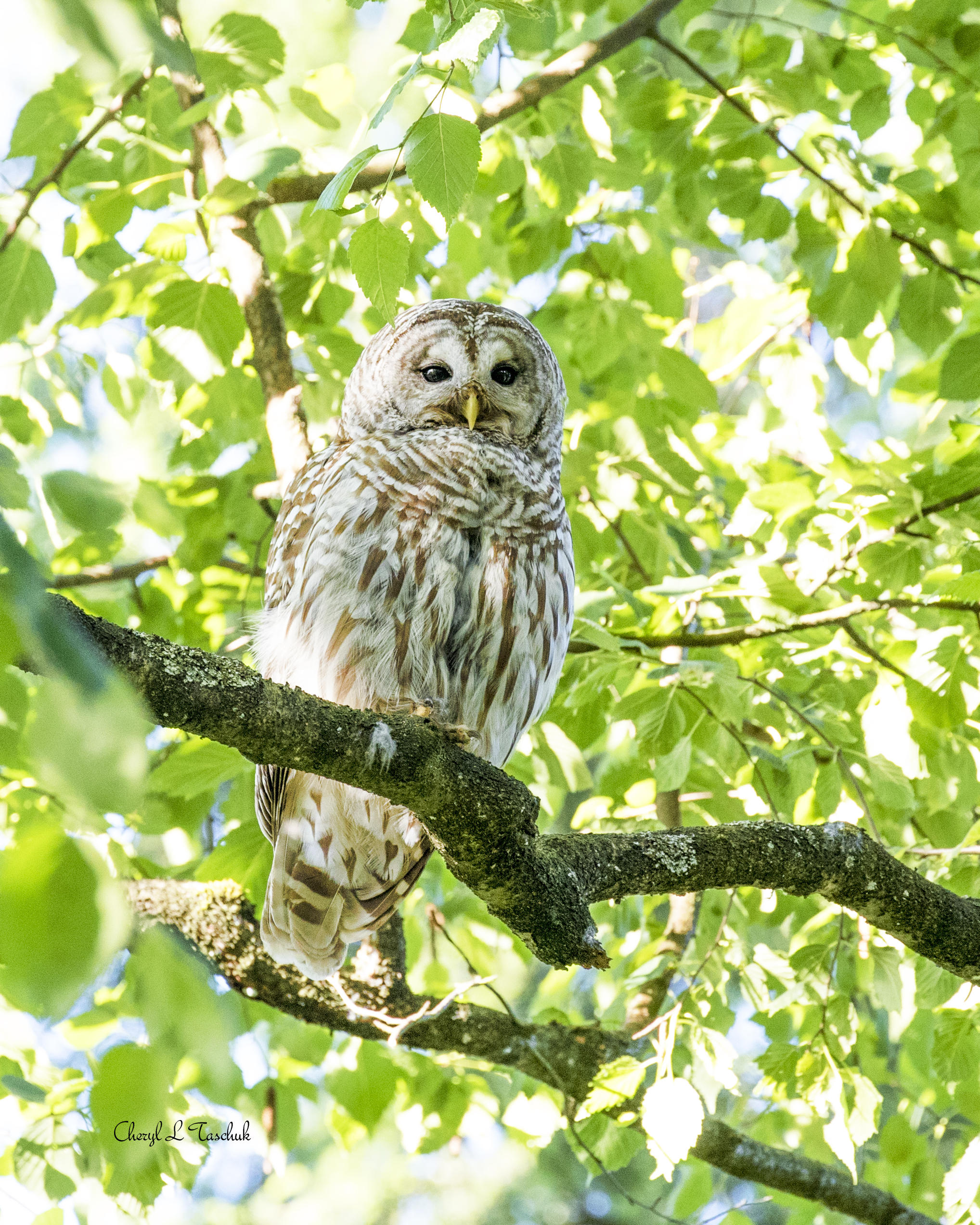 Barred Owlet in Tree