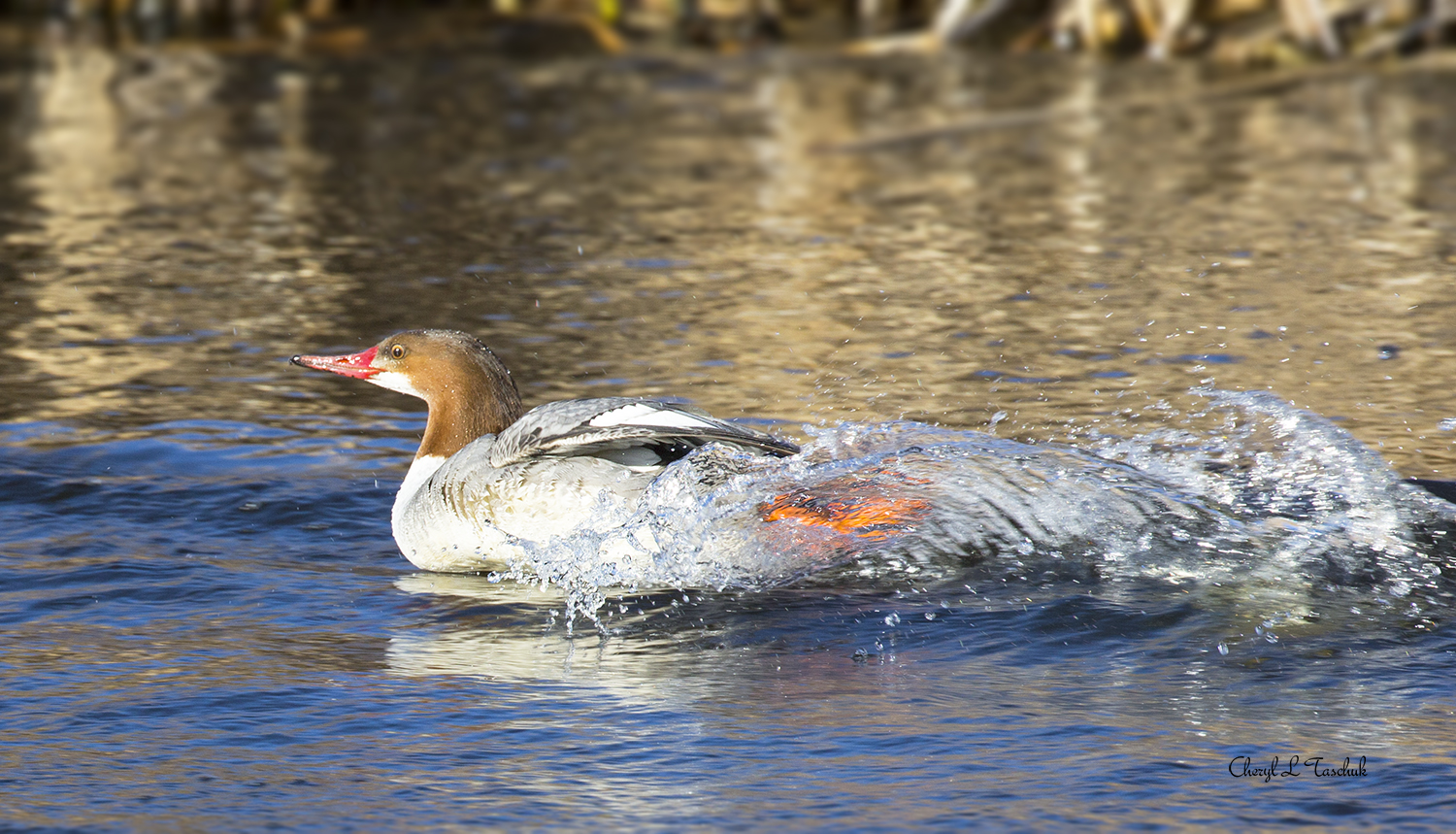 Common Merganser Taking Off