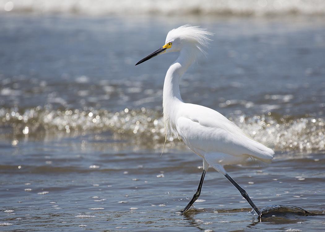 Egret Walking in Surf