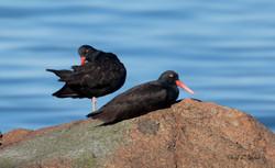 Oyster Catchers on Rocks