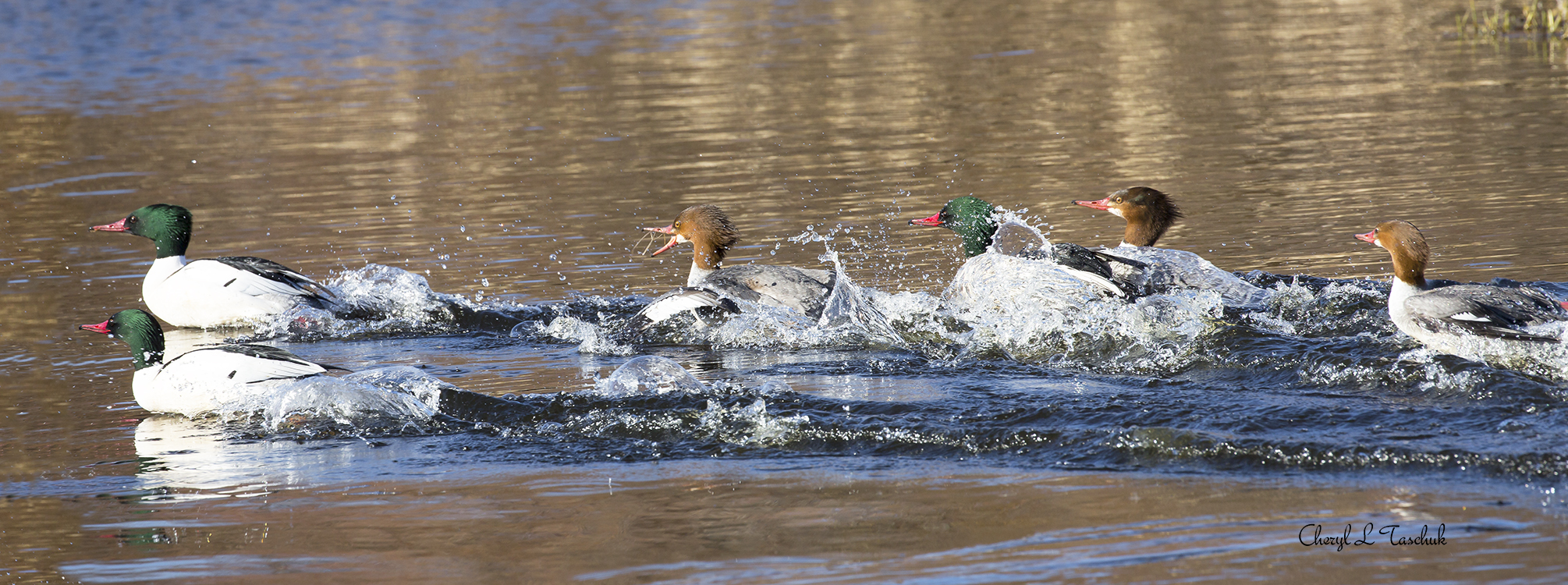 Common Mergansers Taking Off