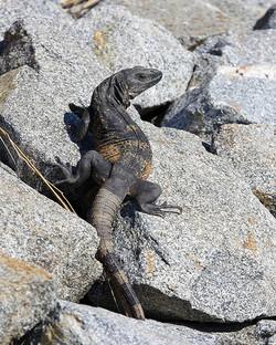 Black Iguana on Rocks