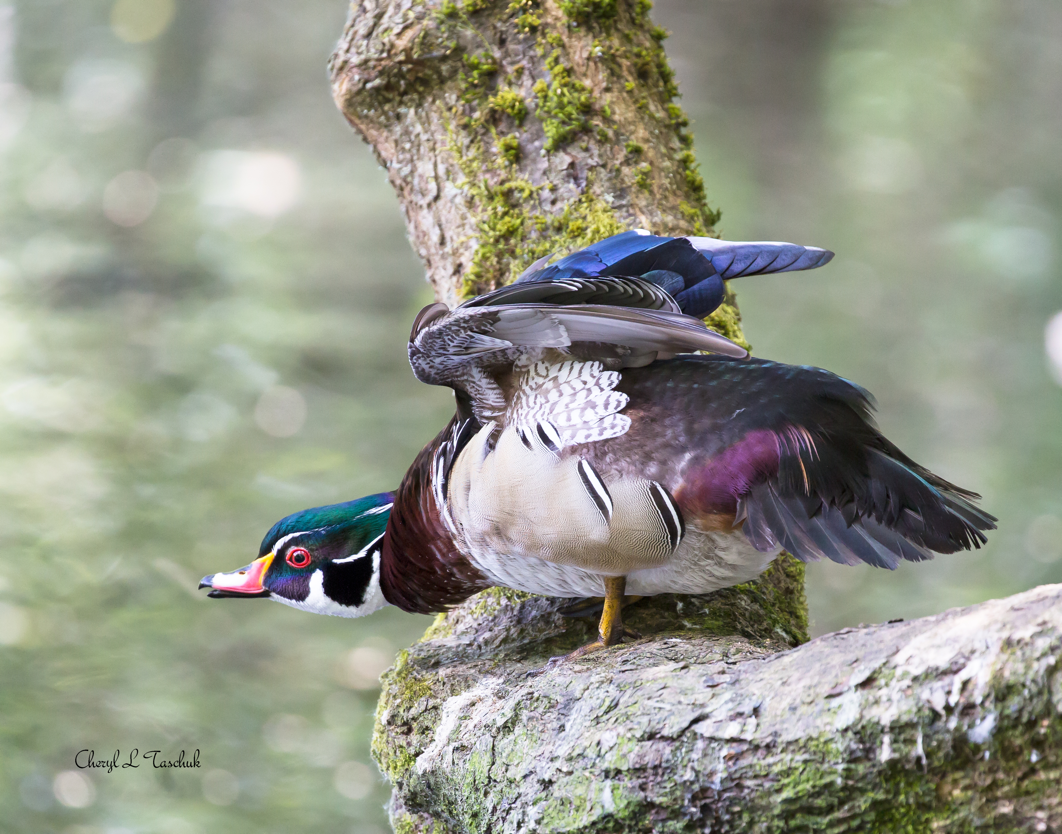 Wood Duck Ready for Takeoff
