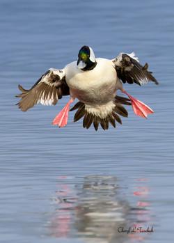 Bufflehead Landing