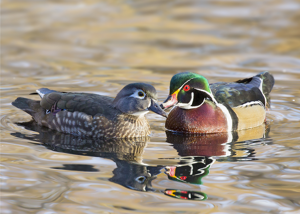 Wood Ducks Courting