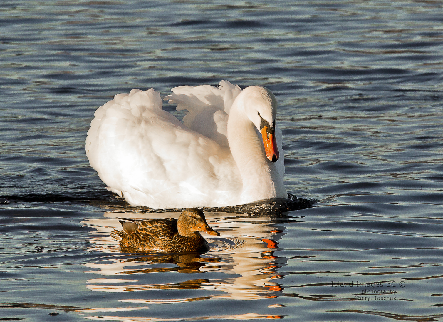 Swan and Mallard