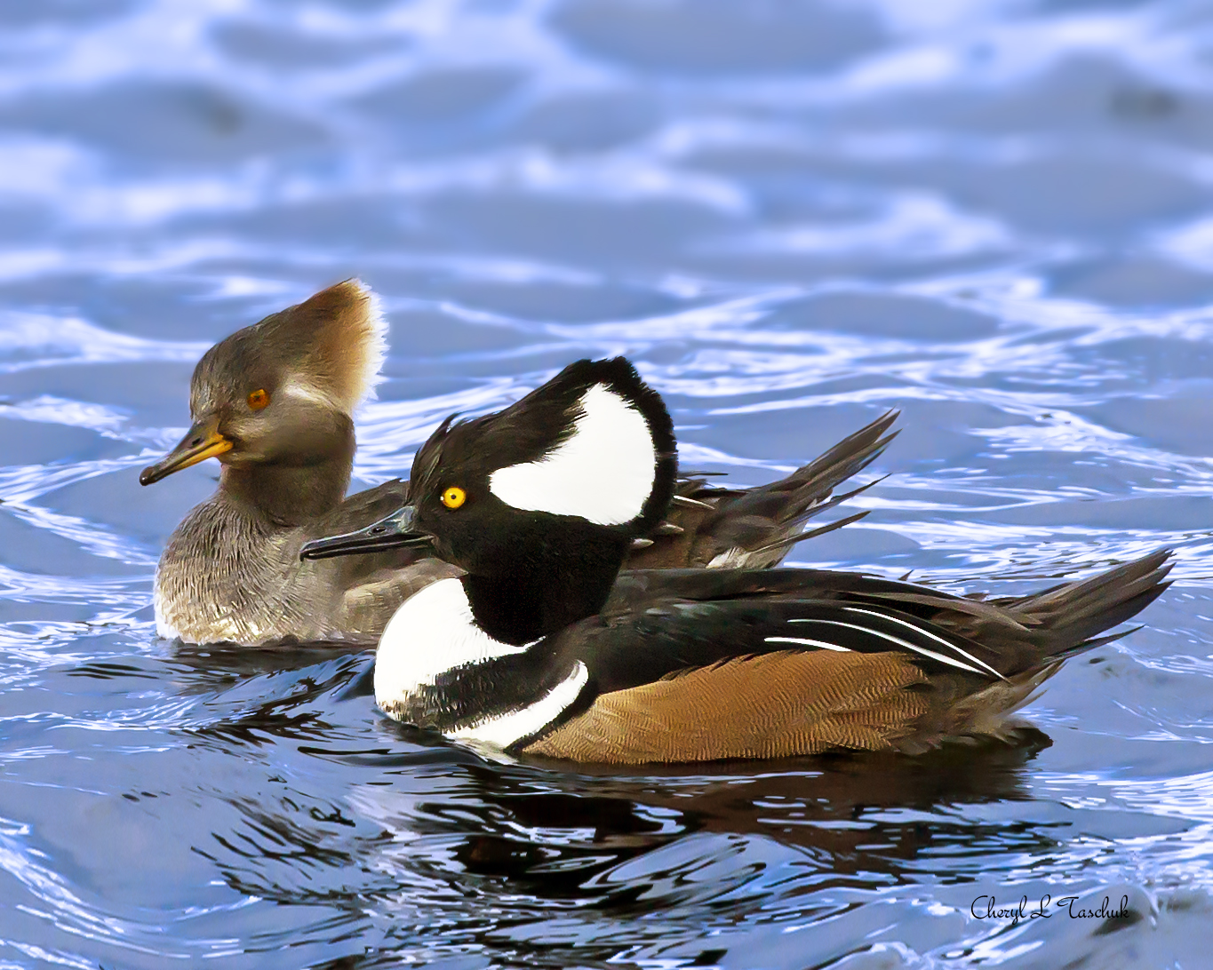 Hooded Merganser, Pair Swimming