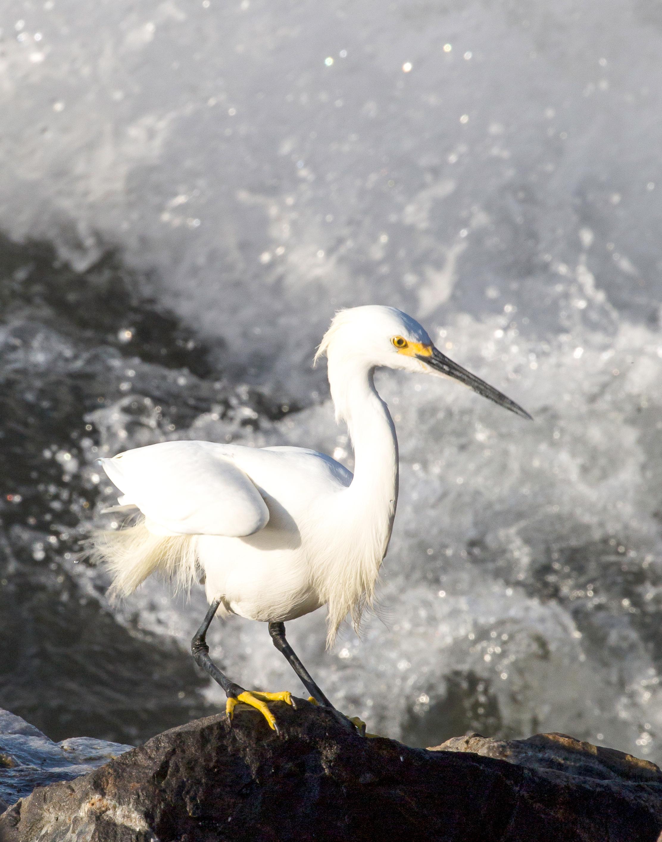 Egret Standing on Rock w/ Surf