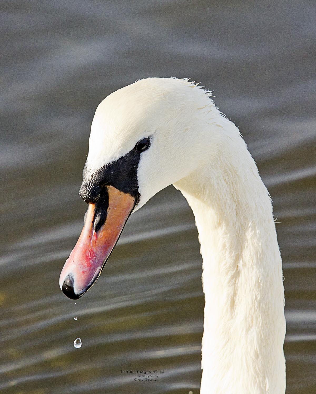 BI-Swan Head Shot_LT_0349