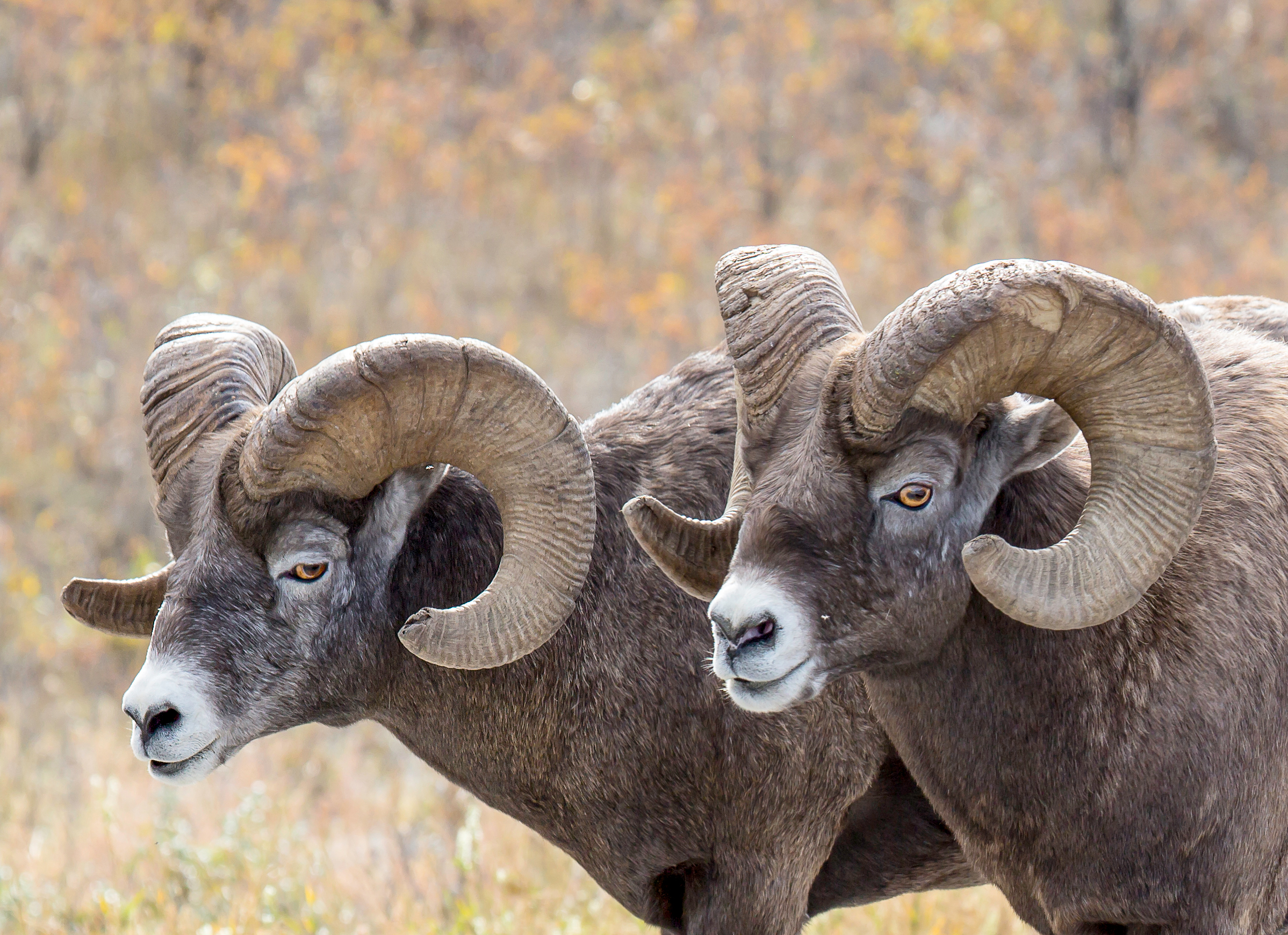 Mountain Sheep Pair