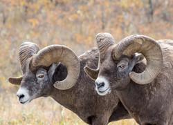 Mountain Sheep Pair