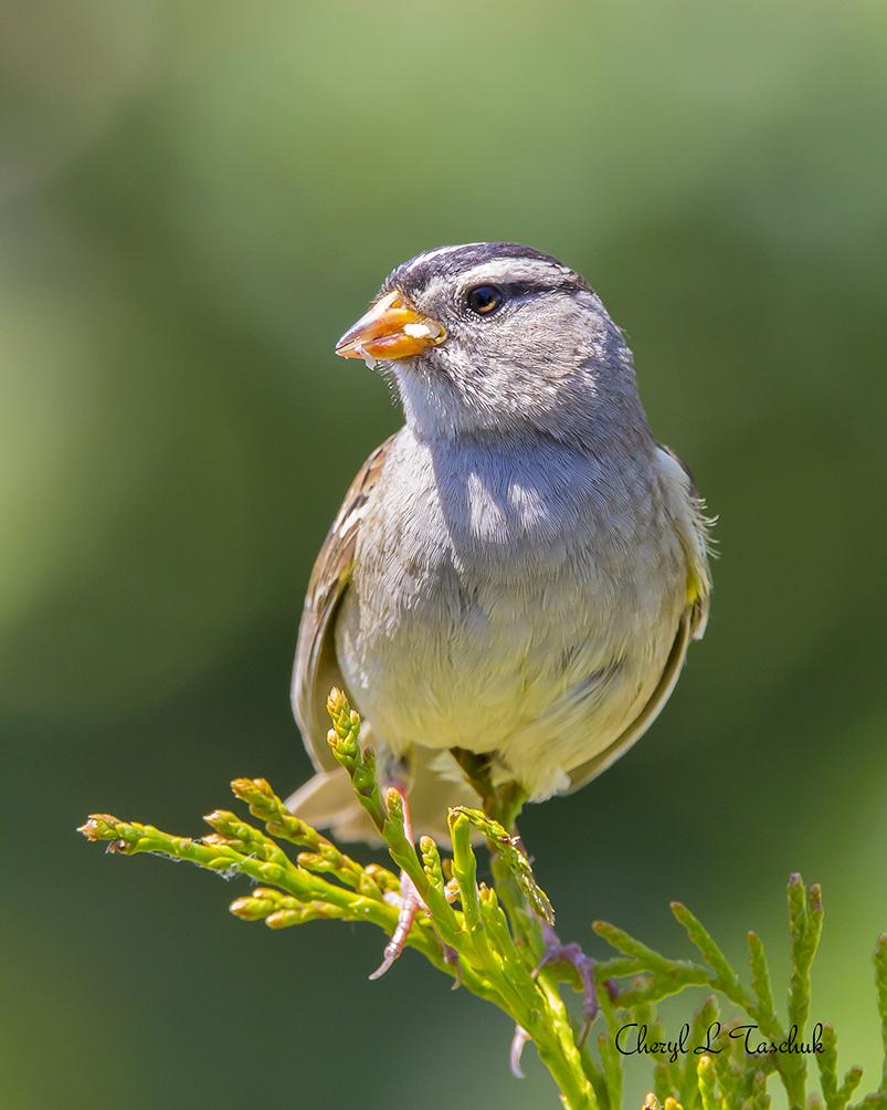 BI-White Crowned Sparrow-Web CLT_2249