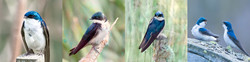 Set 4 Tree Swallows-Set of 4