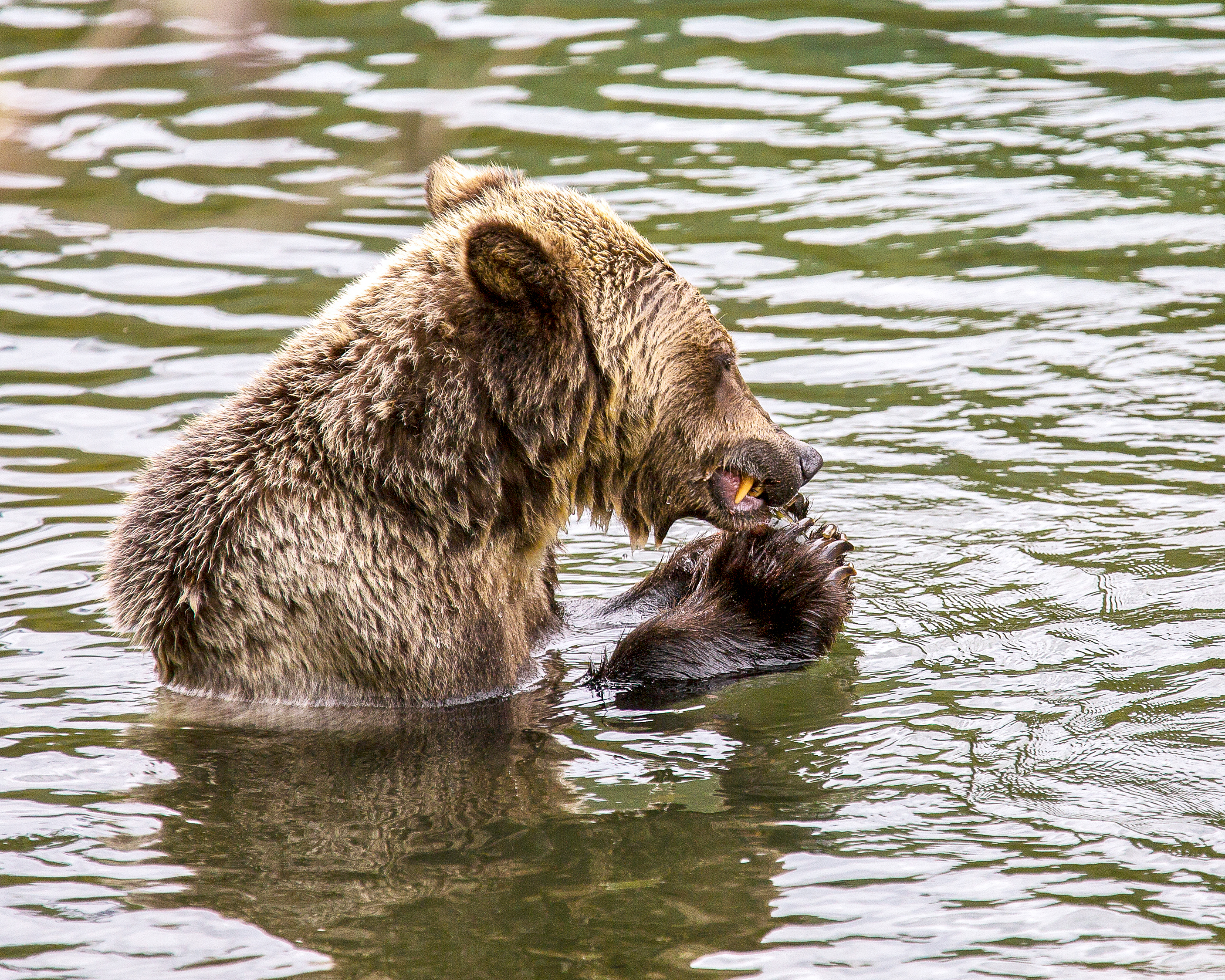 Grizzly Eating Kokanee