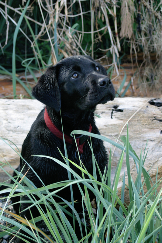 Labrador Retriever Puppy 1