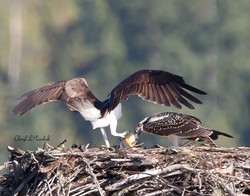 Osprey Chick Receiving Lunch
