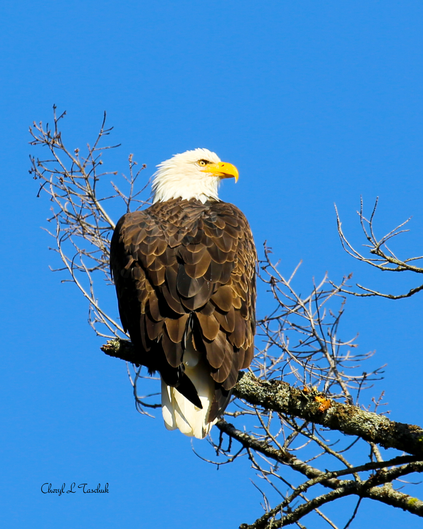 Bald Eagle in Tree 1