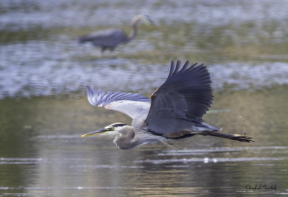 BI-Heron in Flight 6244