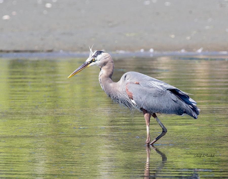BI-Heron Wading 6410
