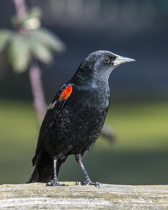 BI-Red Winged Blackbird-Web 1069