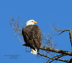 BI-Eagle (Bald) 052A1556