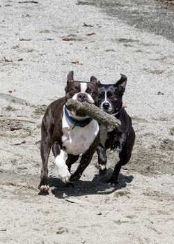 Boston Terrier and Bo Chi