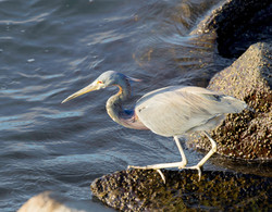 BI-Mexican grey heron 3922