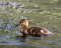 Mallard Duckling Swimming