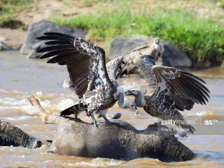 The Momentous Wildebeest Migration - Part 2
