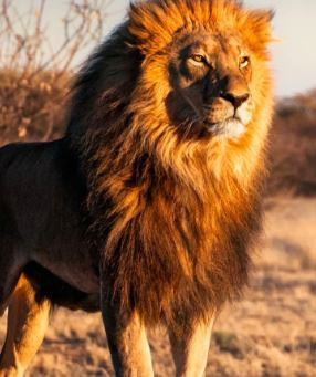 How to have a Lion Mindset in Challenging Times