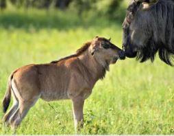 The Momentous Wildebeest Migration - Part 3