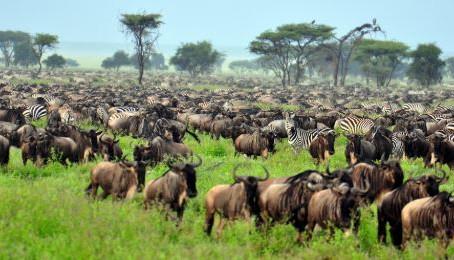 The Momentous Wildebeeste Migration
