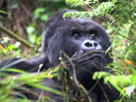 Meeting the Mountain Gorillas