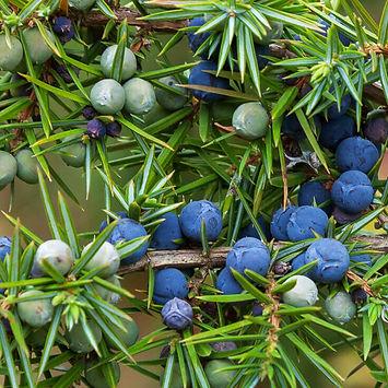 Juniper-Berry-Essential-Oil.jpg