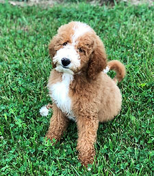 Trained Goldendoodle Puppies