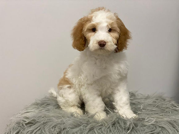Trained Labradoodle Puppies For Sale