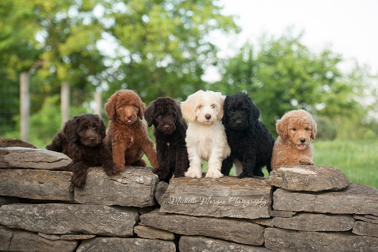 Mini Labradoodle Puppies For Sale Adopt Your Puppy Today