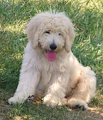 Deer Creek Labradoodles