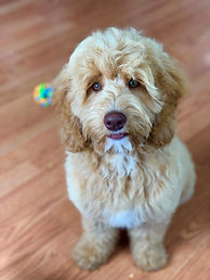 Trained Labradoodle Puppies