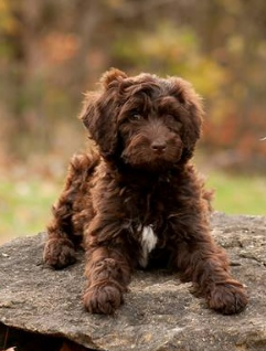 Labradoodle Puppies For Sale Labradoodle Breeders Bordoodle Puppies