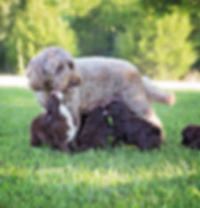 Labradoodle puppies in Kentucky