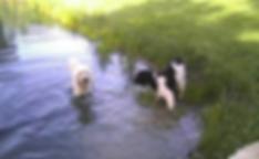 Deer Creek Labradoodles