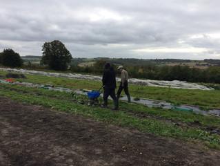 Finishing the squash harvest